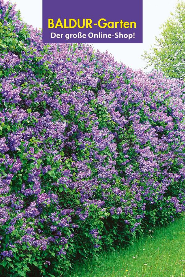 Blütenhecken