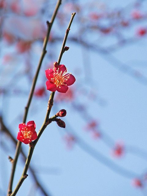 Red Japanese plum blossoms by tanakawho, via Flickr