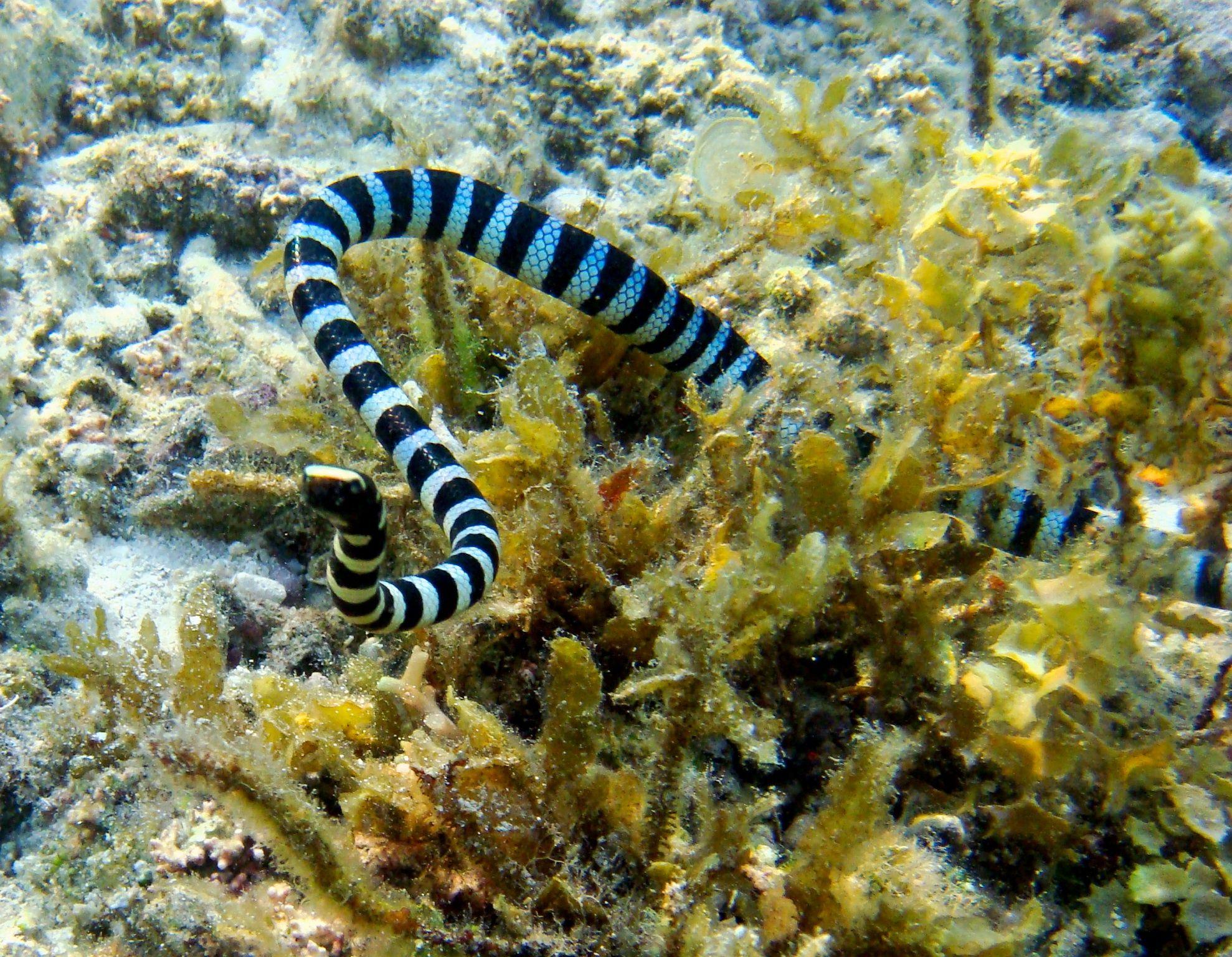 Serpiente marina en Cebú Filipinas Underwater, Animals