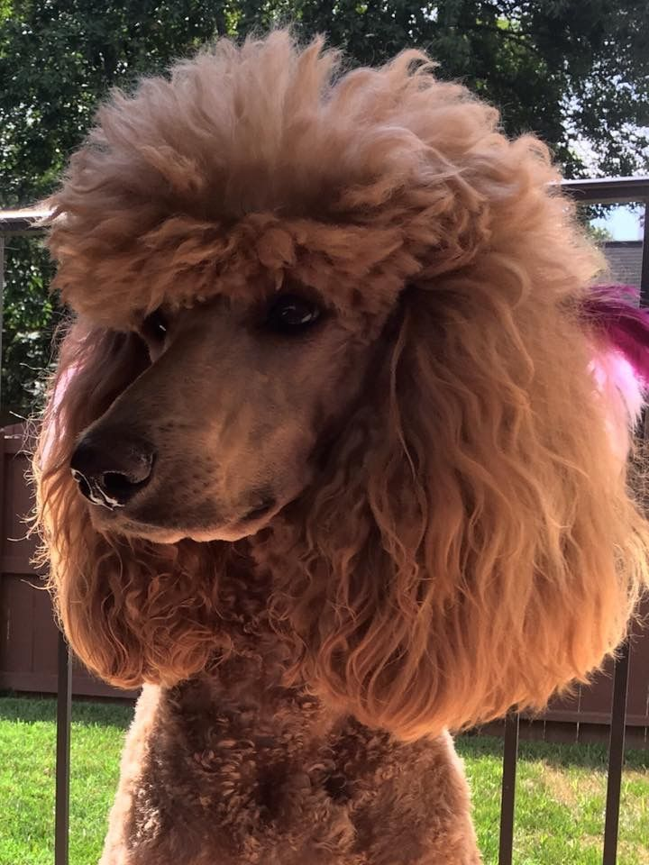 Red goldendoodle puppies for sale in michigan