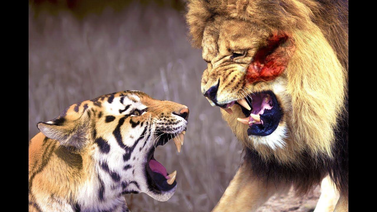 Tiger vs Lion Real Fight - Pertempuran paling seru antara