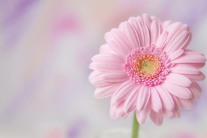 He Loves Me He Loves Me Not Pretty Flowers Flowers Pink Gerbera