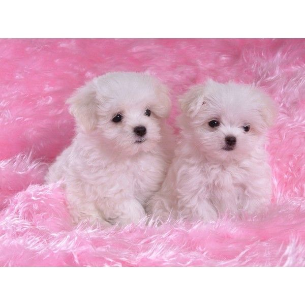 Two White Puppies On Pink Carpet Cute Wallpaper Liked On Polyvore