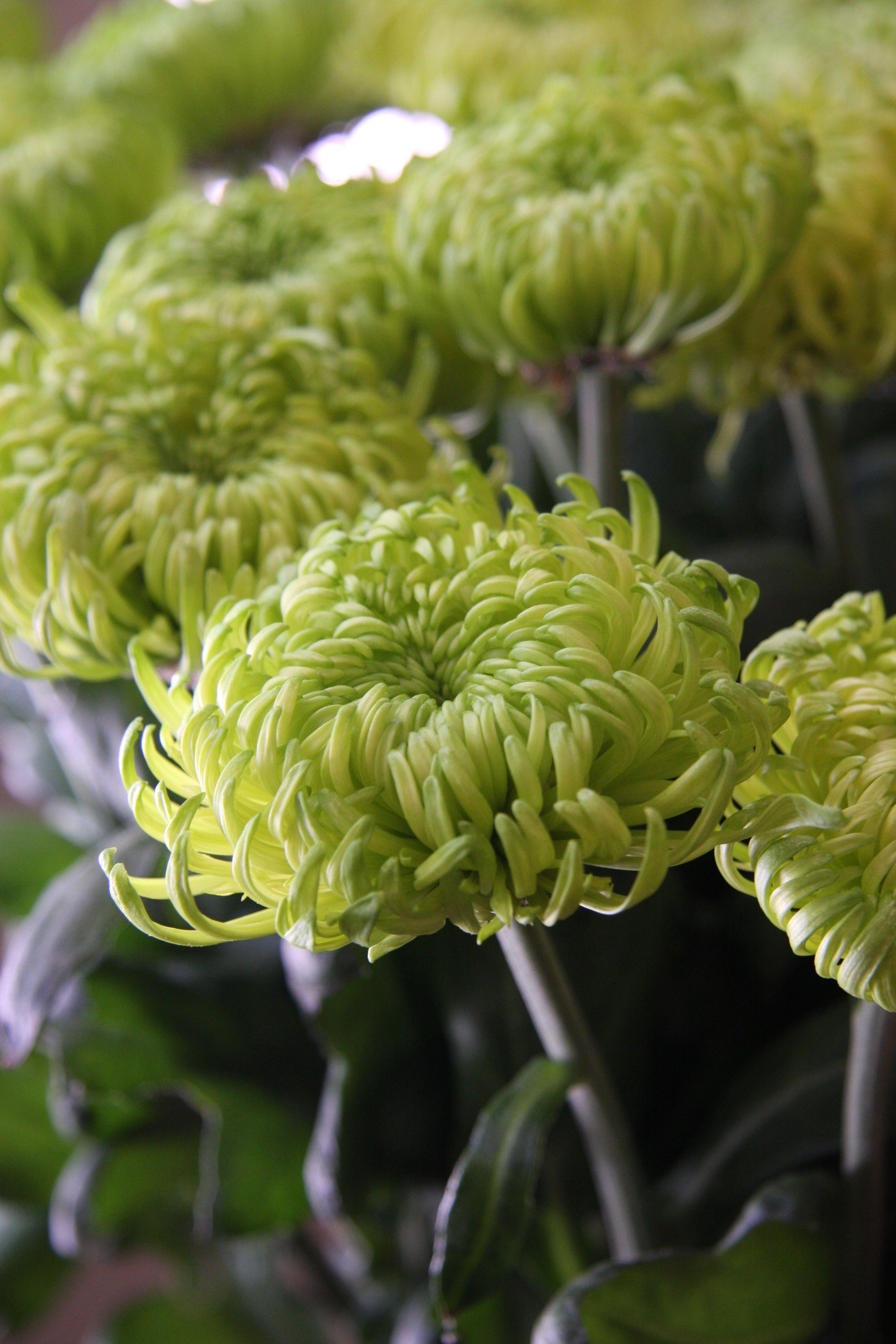 цветы зеленого цвета в саду фото