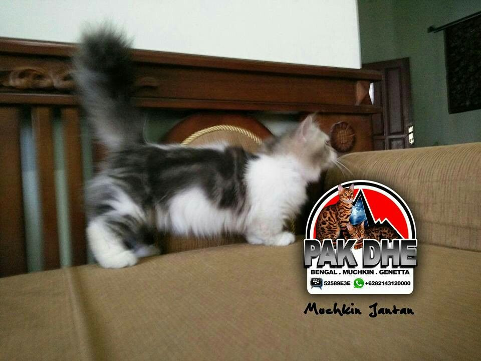 Kucing Munchkin Munchkin Napoleon Kucing