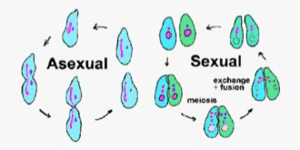 Cell division and asexual reproduction of plants