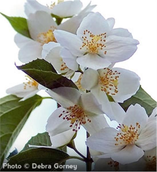 Sweet mockorange philadelphus coronarius fast growing flowering fast growing flowering shrub unique white four petal flowers sweetly scented fragrant blossoms 10 to 12 high and wide zones 4 to 8 mightylinksfo