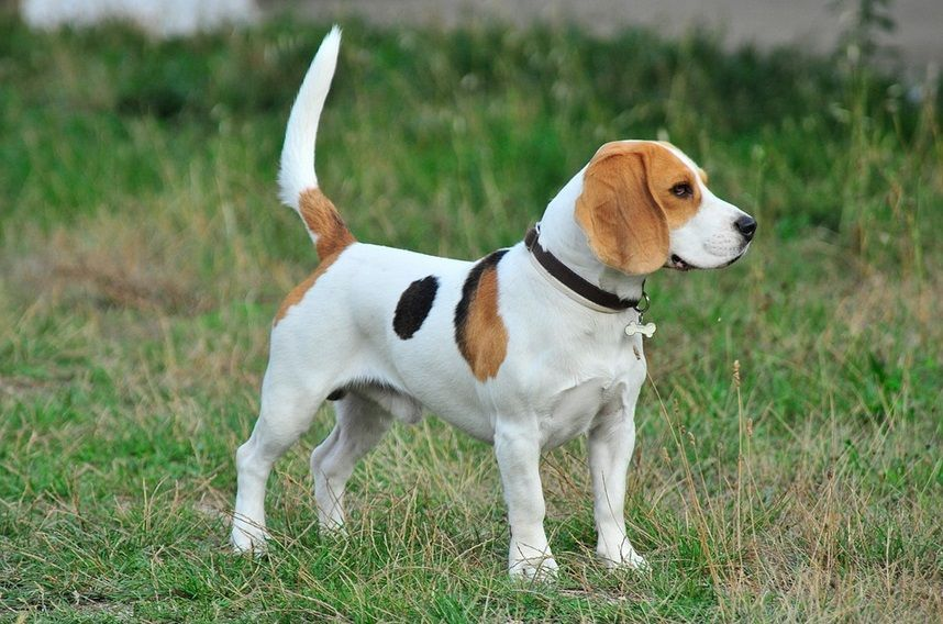 Determine The Name For Your Beagle Based On History Culture