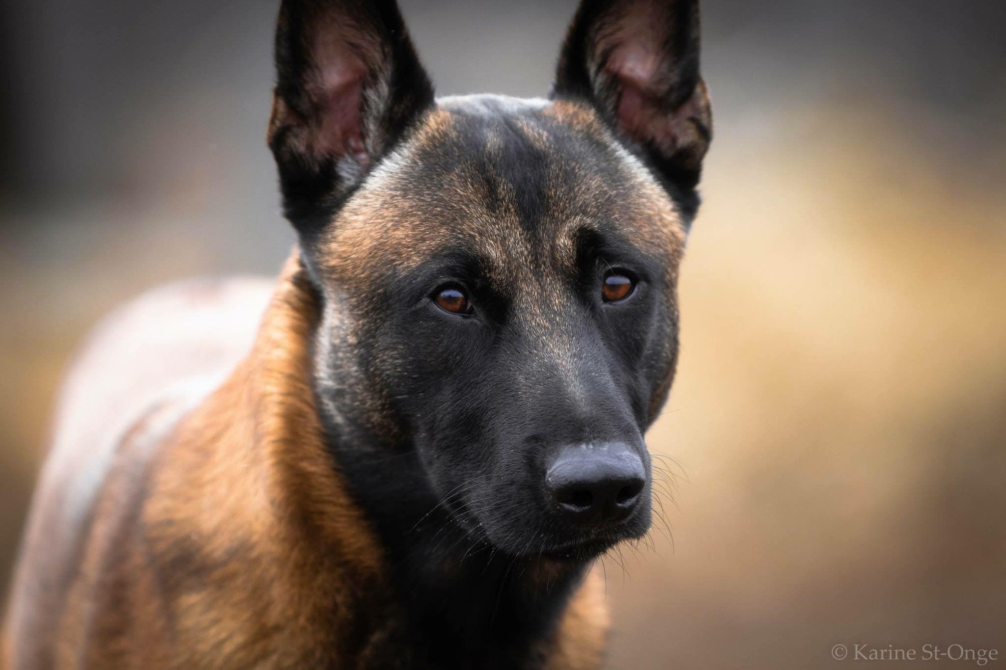Belgian Malinois Luger Of Malinger Kennels Belgian Malinois Belgian Malinois Dog Malinois Dog