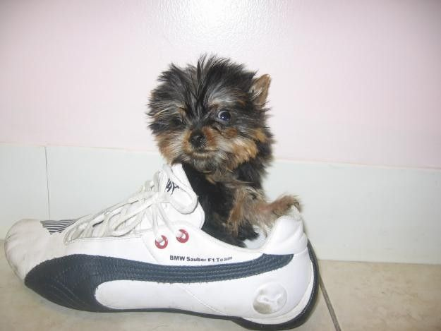 Pets And Animals For Sale In Florida Puppy And Kitten Classifieds Buy And Sell Kittens And Puppies Pets For Sale Teacup Yorkie Female Golden Retriever