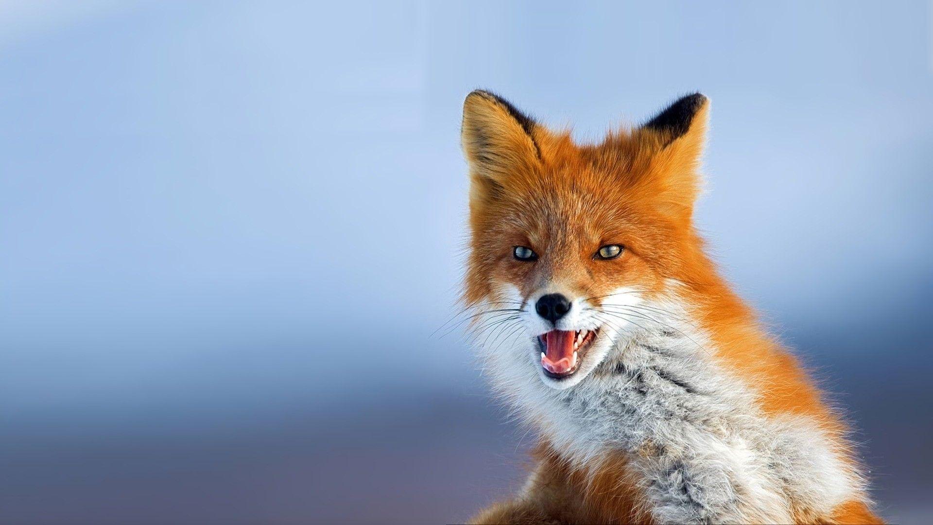 Download Wallpaper 1920x1080 Fox Muzzle Background Eyes Animal Full Hd 1080p Hd Background Pet Fox Animals Beautiful Animal Wallpaper