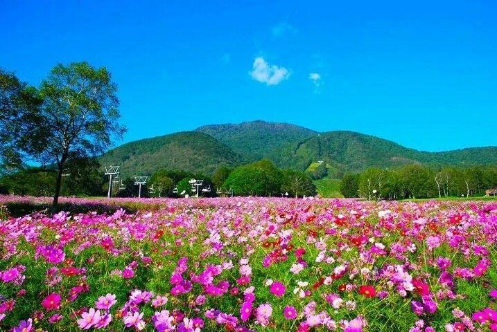 Image result for Kurohime Kogen Highlands Cosmos Park - Prefektur Nagano
