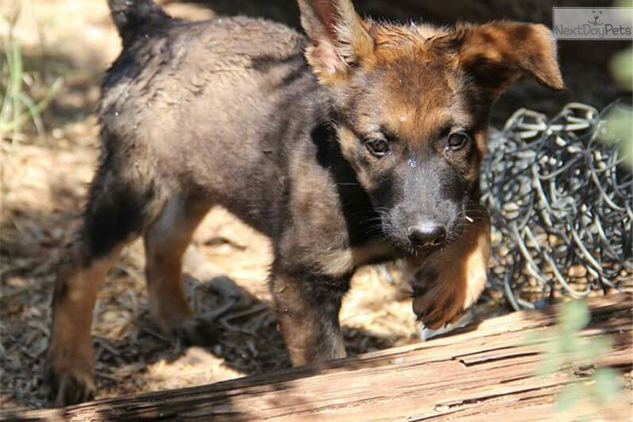 I Am A Cute Belgian Malinois Puppy Looking For A Home On Nextdaypets Com Belgian Malinois Puppies Malinois Puppies Malinois