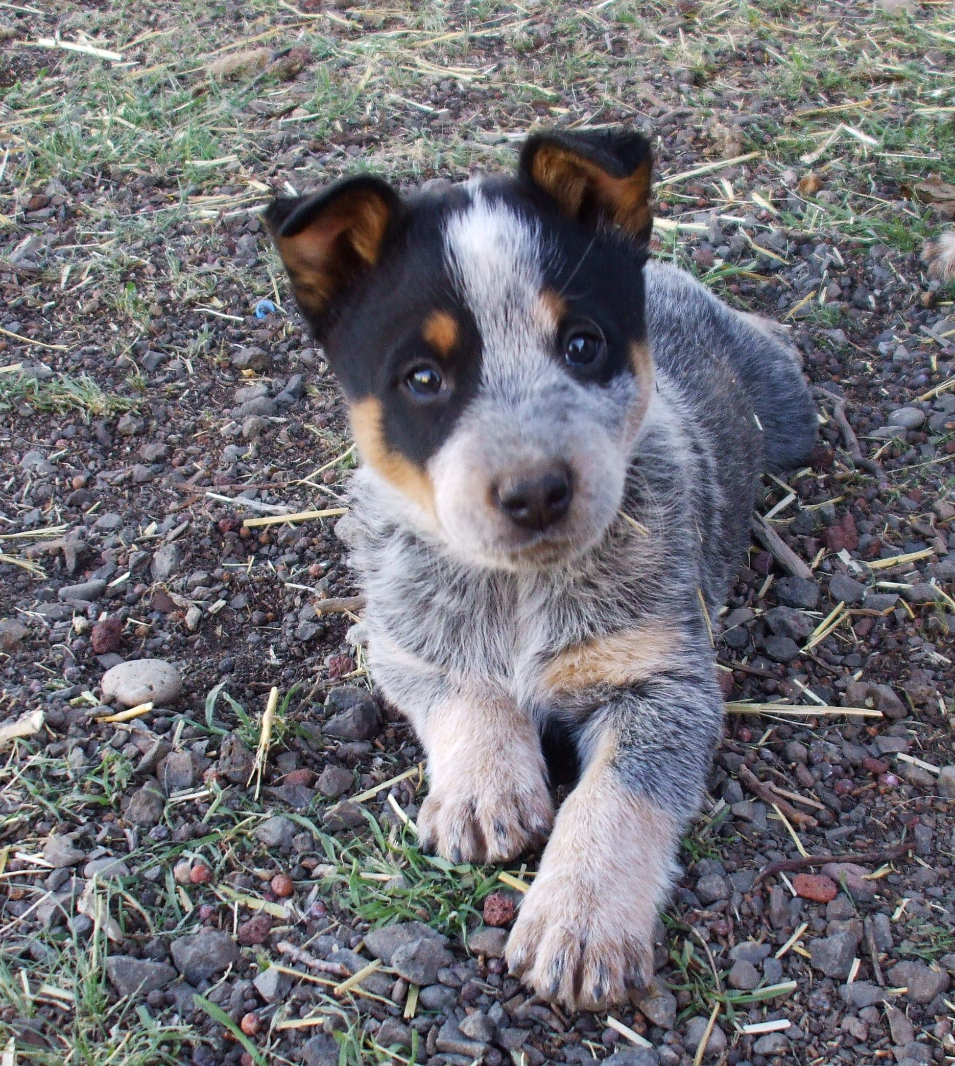 Blue Heeler Puppy Cattle Dogs Rule One Of Our Pups Heeler