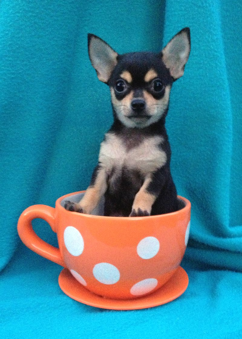 Adopt Luce Lucy Adoption Pending On Petfinder Very Small Dogs Chihuahua Dogs Sweet Dogs