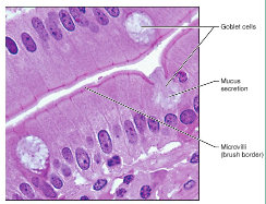 Epithelial And Connective Tissue Flashcards Quizlet Anatomy