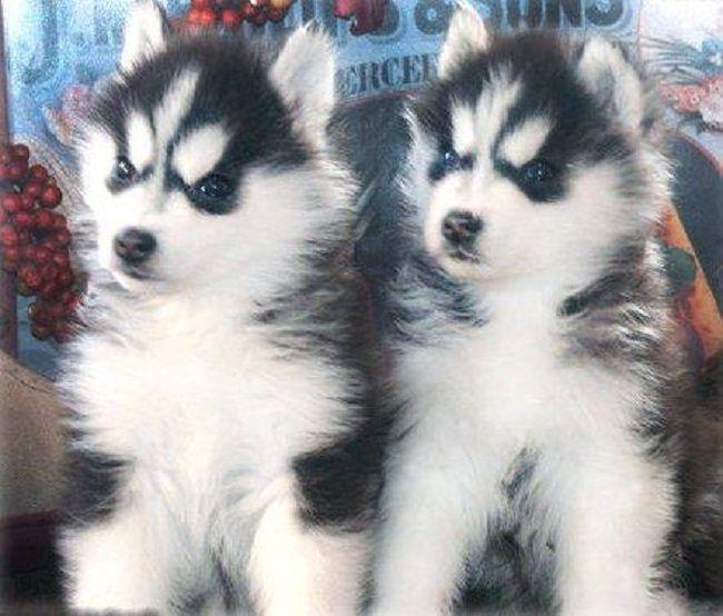 Pitbull And Siberian Husky Pitsky Odb Husky Siberian Husky