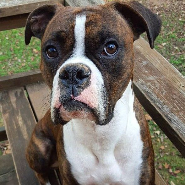 Boxer Dog || Stunning @rudy_theboxer #boxerlovedaily #boxerlovealways #boxerdog #boxerlife #boxerlove #boxerlovers #boxersofinstagram #petsofinstagram #dogsofinstagram #boxersofinstagram101 #boxersofig #boxersofinsta #instadog #instapet #instadogs #instaboxer #boxersonfleek #boxersoninstagram #photooftheday #picoftheday #ilovemydog #ilovemyboxer #beautiful #boxergram #cute by boxerlovealways