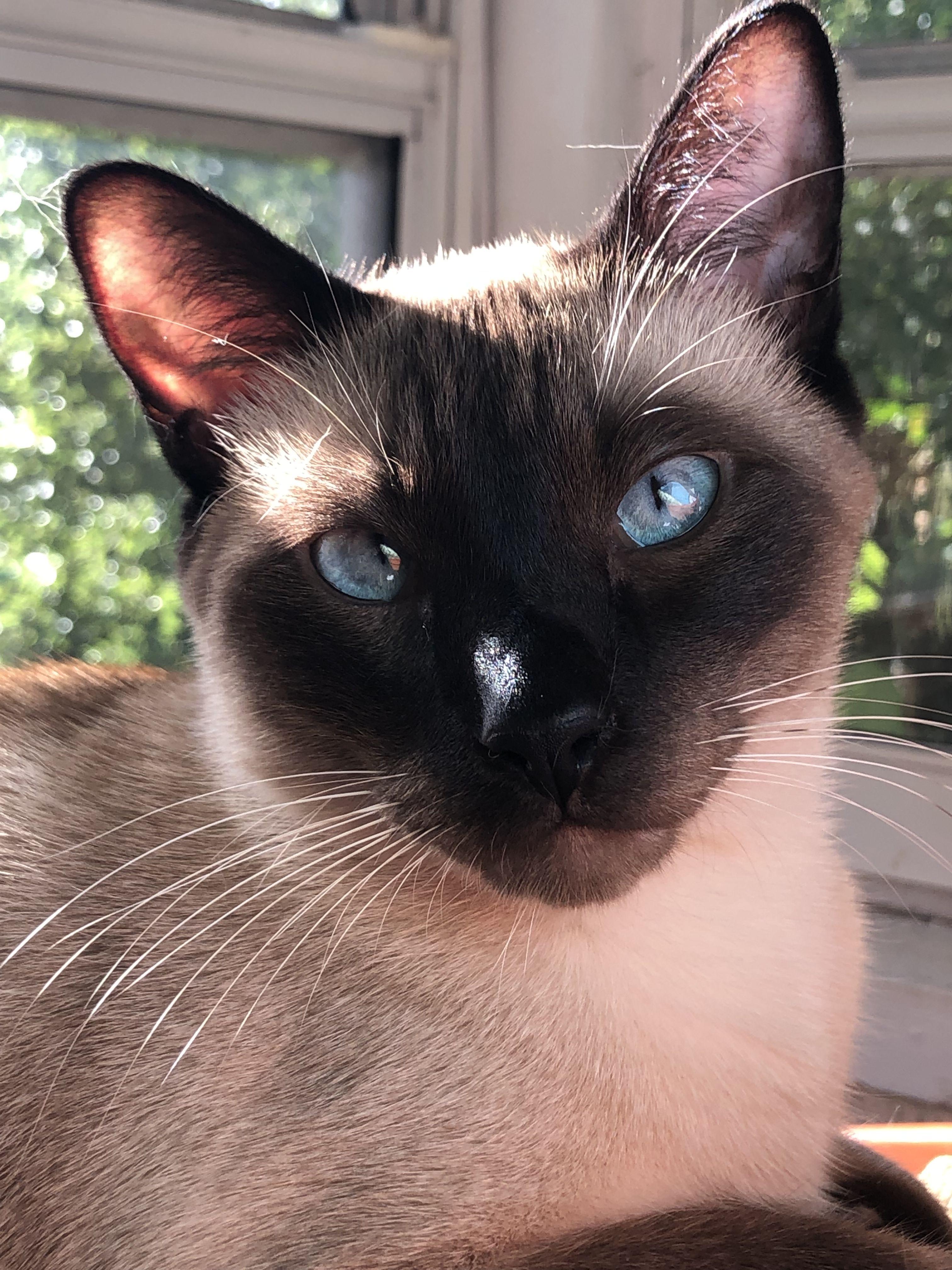 Newton the Siamese Cat Siamese cats, Siamese cats facts
