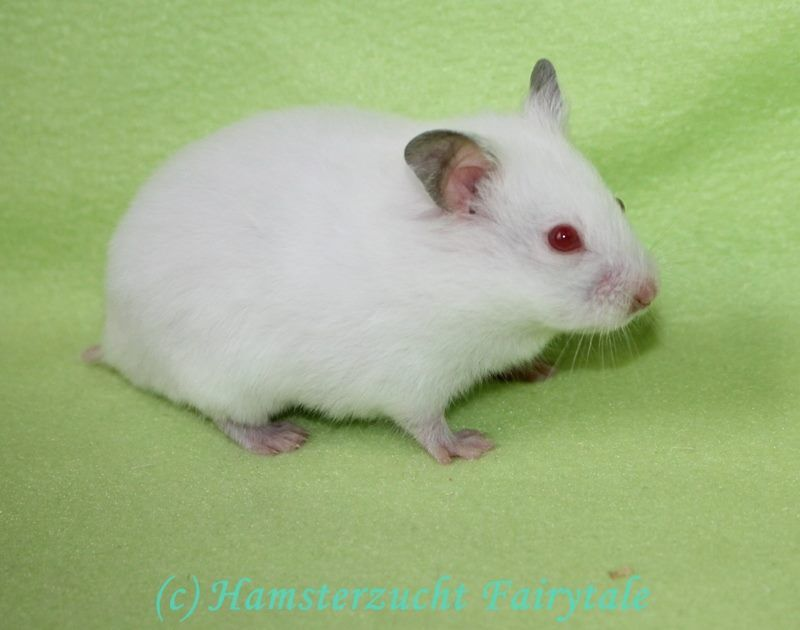 I Wurf Hamsterzucht Fairytale Syrian Hamster Cute Hamsters Pet Rodents