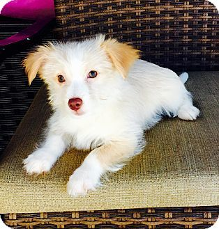 Pomeranianyorkie Yorkshire Terrier Mix Puppy For Adoption In
