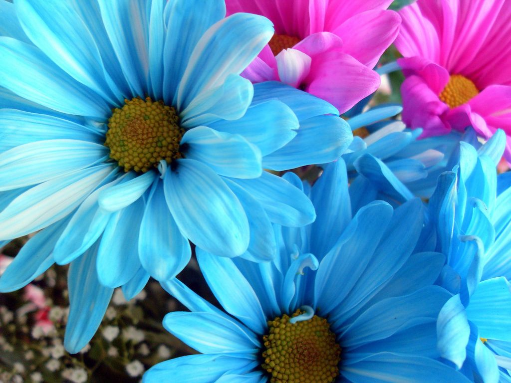 Daisy Flower Wallpapers Hd Pictures One Hd Wallpaper Pictures
