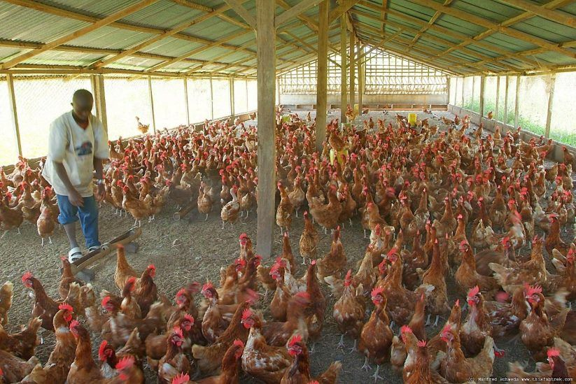 PDF Poultry Housing Design Plan | Poultry Housing Designs