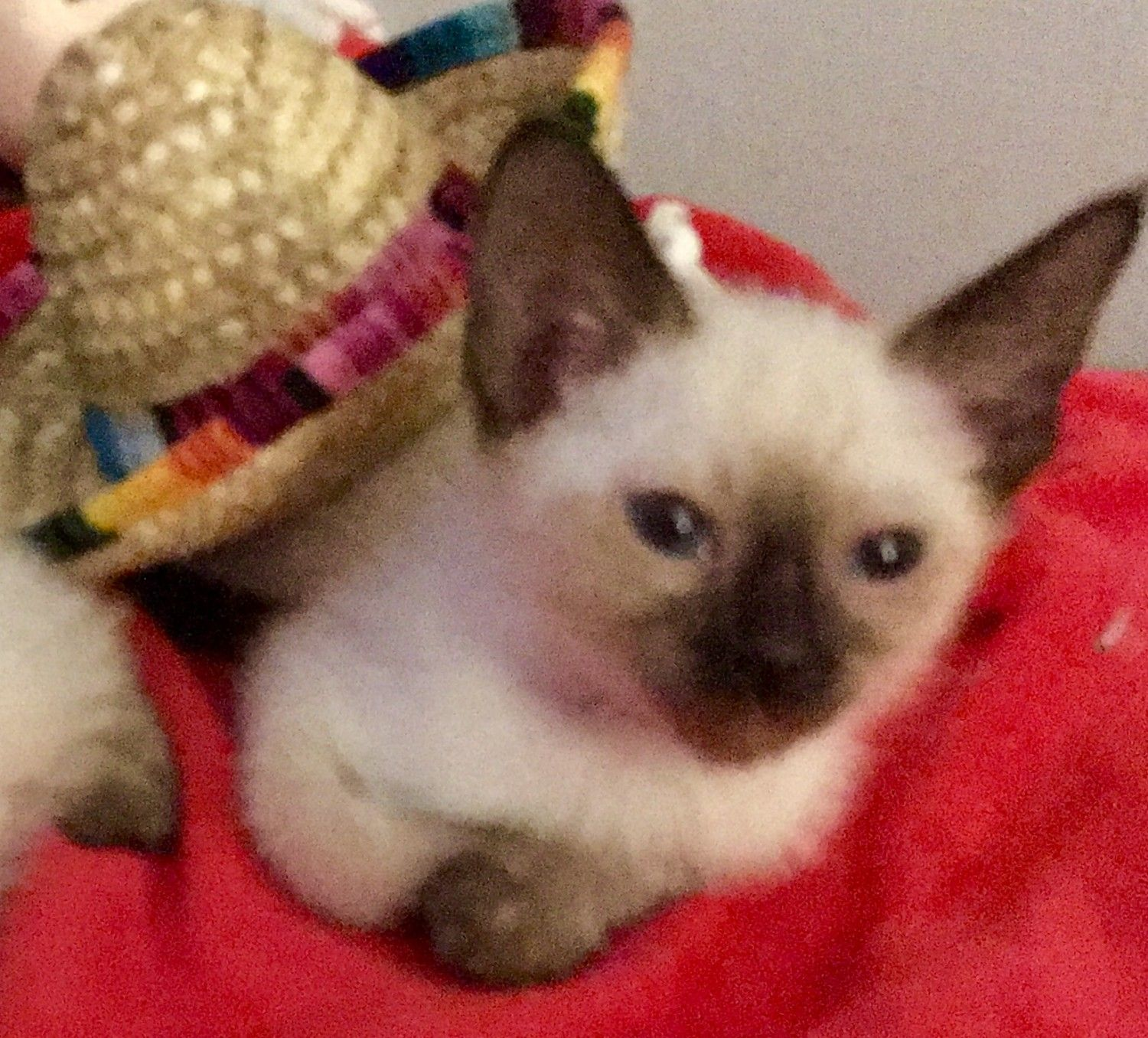 Siamese Cats For Sale Reading Pa In 2020 Siamese Cats For
