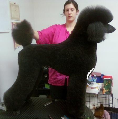 Modern Clip Dog Grooming Diy Poodle Dog Poodle