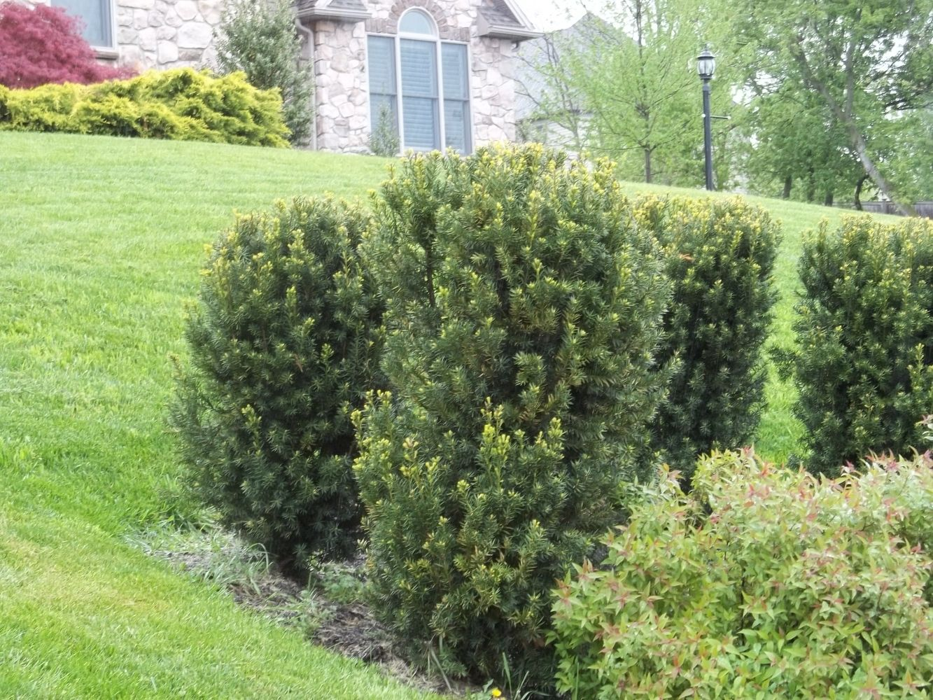Hicks yew embankment plants pinterest shrub topiary for Garden yew trees