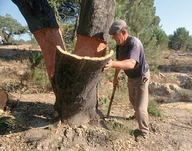 Harvesting Cork The Trees Are First Harvested After They Are 30