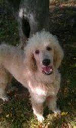 Rowen Ckc Is An Adoptable Standard Poodle Dog In Alpharetta Ga
