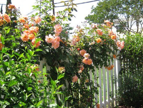 Growing climbing roses plant combos south wall pinterest orange roses roses garden and rose - Rose cultivars garden ...