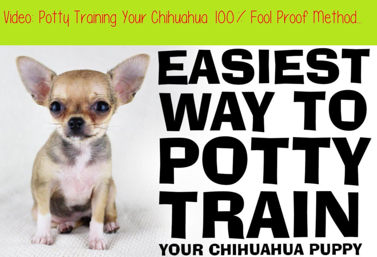 Potty Training Your Chihuahua 100 Fool Proof Methodthis Is The
