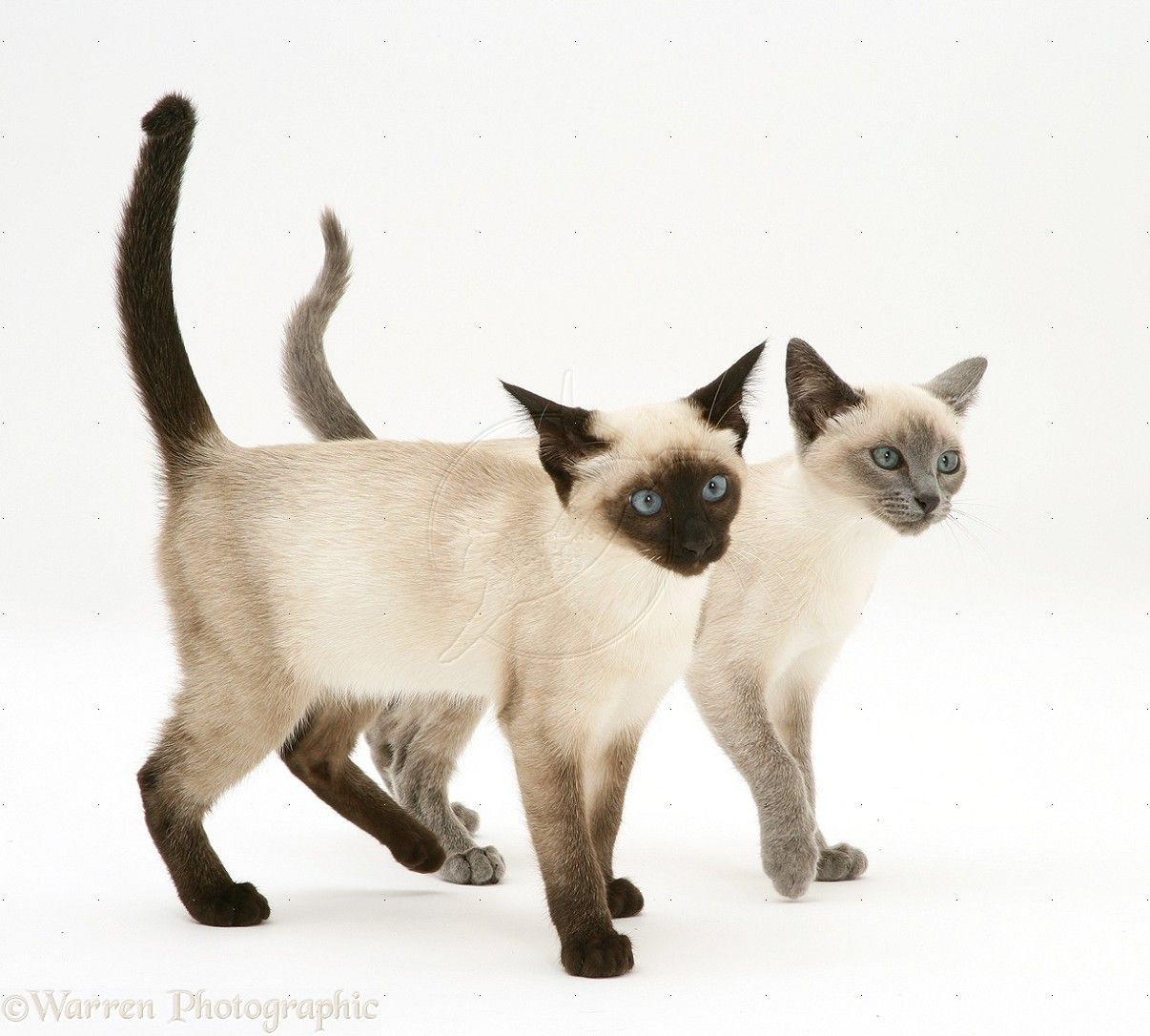 Viewing Gallery For - Seal Point Siamese Cat | SIAMESE ...