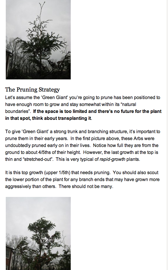 continued- I'm confused. Why would you prune the top of the leader Thuja Green Giant???? as this recommends. www.landscapeadvi...