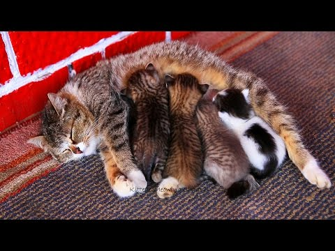 Mom cat feeding five cute meowing kittens YouTube(画像あり