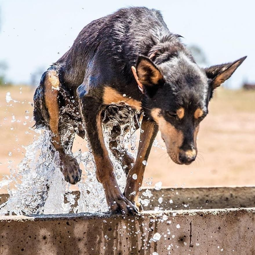 Kelpie Country On Instagram A Quick Dip To Cool Off Then Straight Back To Work Australian Kelpie Dog Australian Kelpie Australian Sheep Dogs