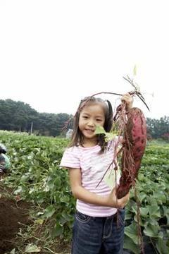 How To Grow Japanese Sweet Potatoes And Potato Vines Japanese Sweet Potato Growing Sweet Potatoes Sweet Potato Vine