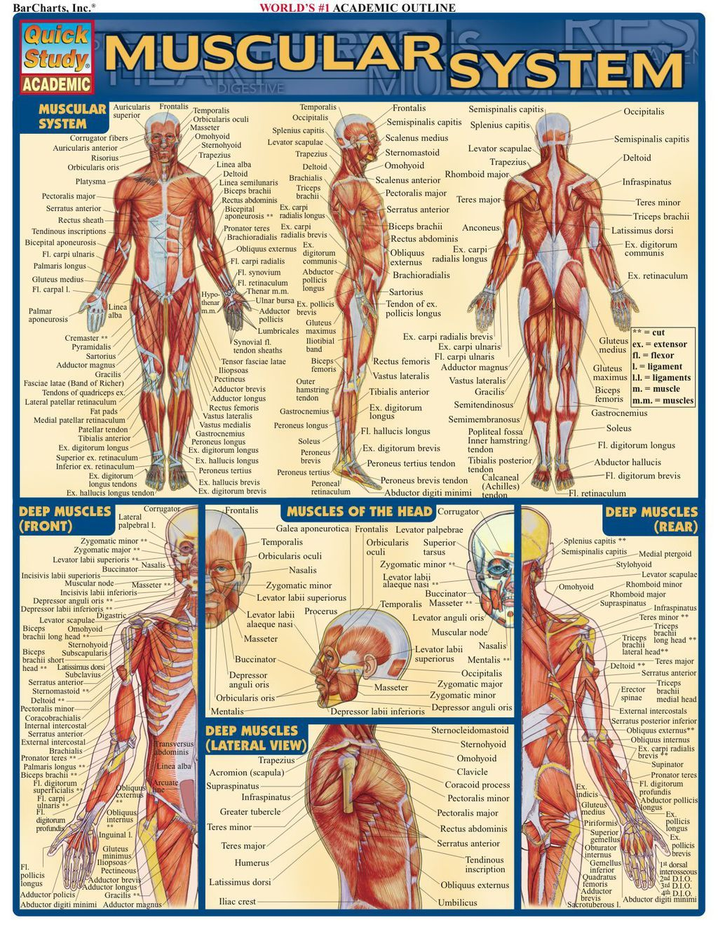 Muscular System Ebook Products Muscular System