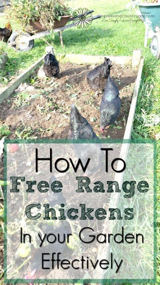 9fc9bdef8513f3d893b4023258c3fee4 - Gardening With Free Range Chickens For Dummies