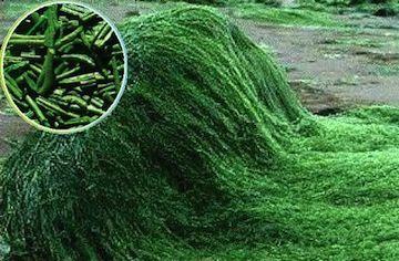 El Alga Espirulina Un Buen Complemento Para El Deporte Alga