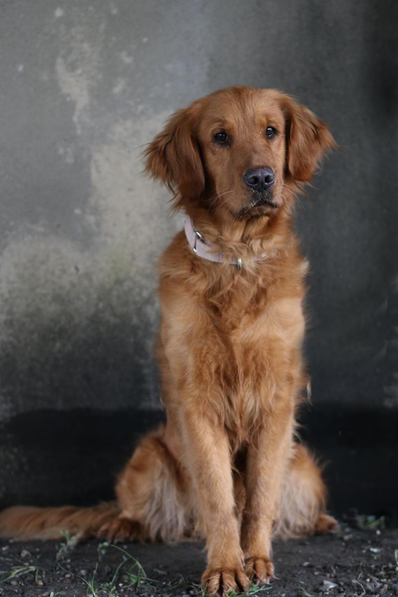 Adopt elinor on dogs golden retriever dog love dogs
