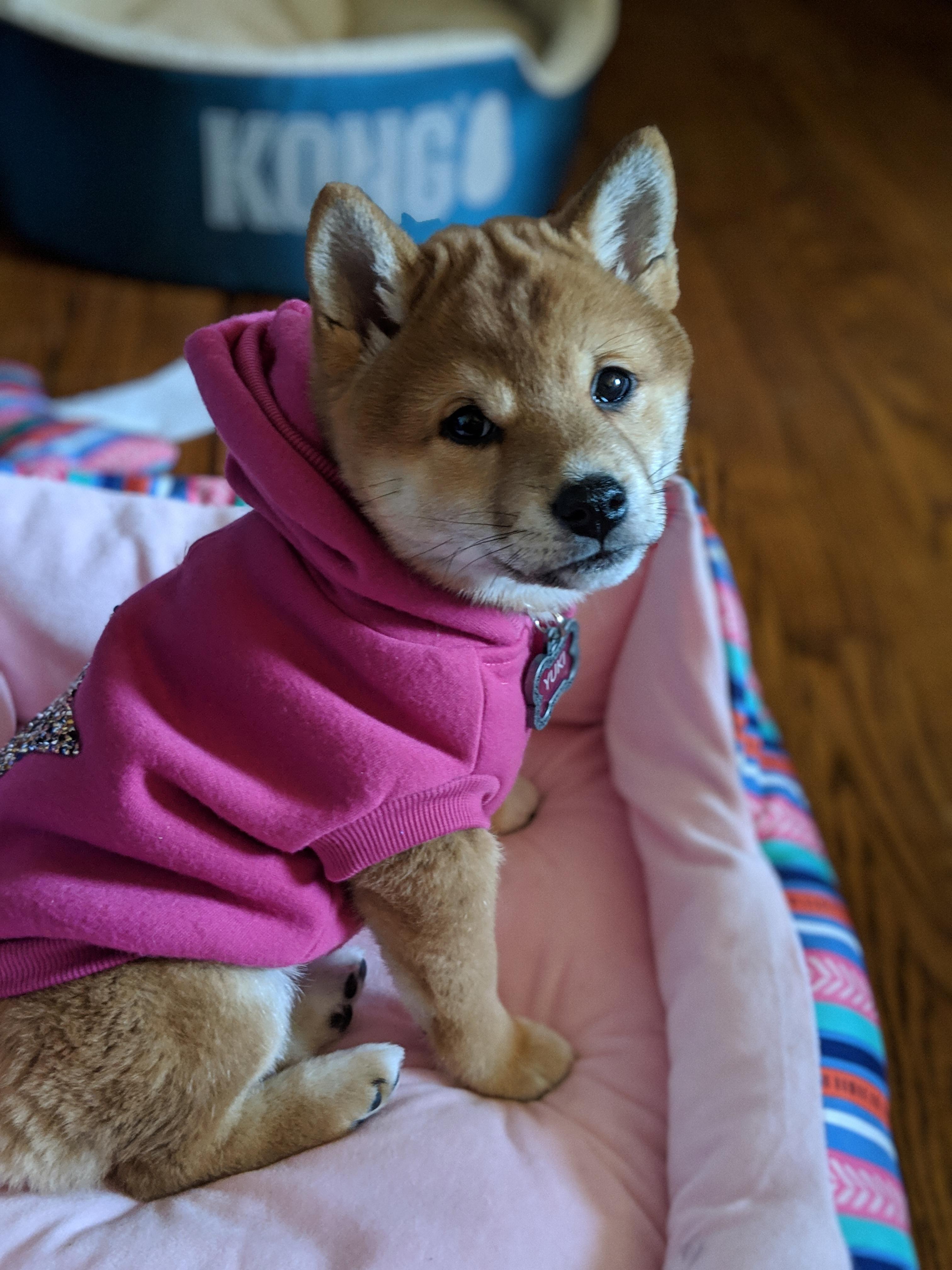 10 Week Old Sassy Pup Shiba Inu Shiba Inu Dog Shiba