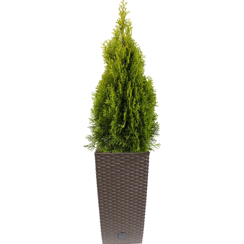 Lebensbaum Golden Smaragd Höhe ca 70 80 cm in Pflanzkübel Mocca