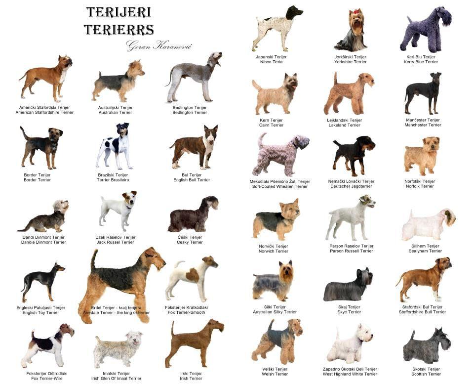 Chart Of Terriers Dog Leads Leash Dog Leads Terrier