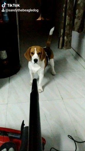 #beagle #beaglesofinstagram #beagles #beaglelove #beaglelife #beaglestagram #beagleworld #instabeagle #beaglelover #justbeagles #beaglegram #grumpybeaglesunited #beagleloveit #beagleoftheday #beaglesdaily #beagleboy #ilovemybeagle #beaglelovers #beagledog #beaglegang #beagleclub #instagrambeagles #lovemybeagle #lovebeagles