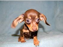 Absolutely Adorable Chiweenie Puppy At Aquatic Dog In Denver So