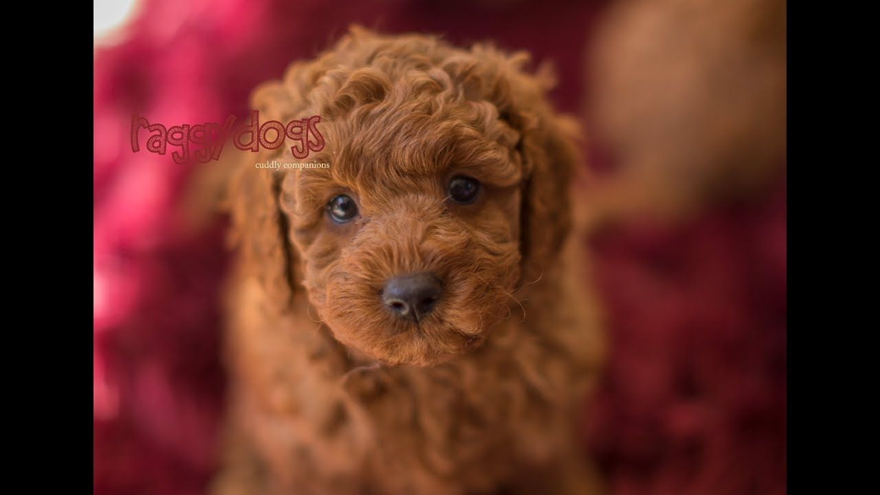 Cavoodle Puppies Barking Playing 6 Weeks Old Funny Cute In