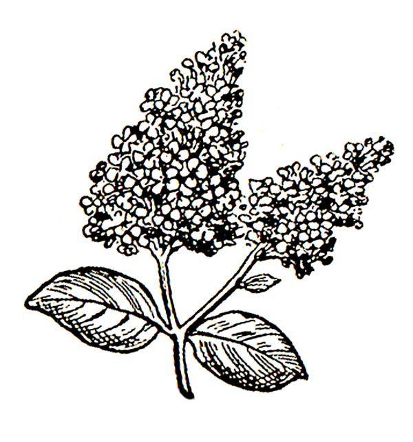 httpimagesclipartpandacomlilac flower clip